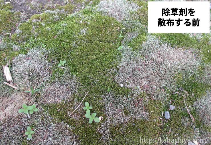 除草剤を撒く前のギンゴケ