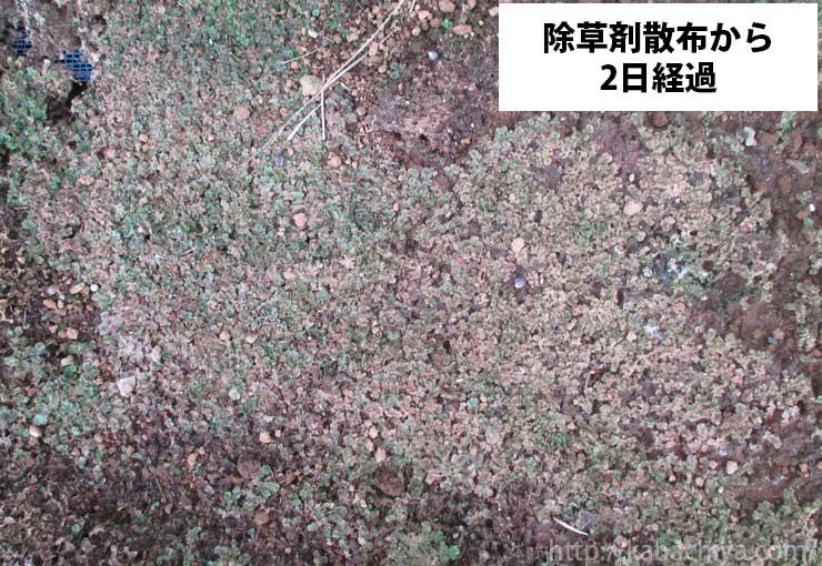 ゼニゴケ除草剤散布から二日経過