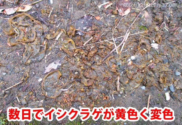 イシクラゲが黄色く変色